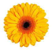 Large yellow-orange gerbera flower — Stock Photo