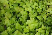 Lush fresh green foliage — Stock Photo