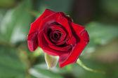 Büyük kırmızı gül — Stok fotoğraf