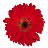 ���������������� gerbera flower — Stock Photo