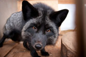 Black fox looks straight at us — Stock Photo