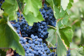 Bunch of ripe dark grapes — Stock Photo