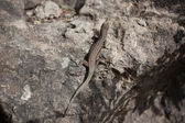 Small lizard — Stock Photo