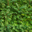 Stock Photo: Thickets of dense green bush