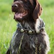 Shorthaired Pointer hunting dog breed is sitting — Stock Photo