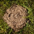 Cow dung lying on the grass — Stock Photo