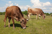 Cows walk through a meadow and eat grass — Stock Photo