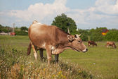 Horned cow grazing among wildflowers — Stock Photo