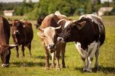 Kühe in der herde auf einer grünen wiese — Stockfoto