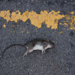 Dead rat — Stock Photo