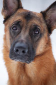Close-up of red Shepherd — Stock Photo