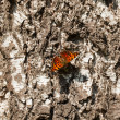 Stock Photo: Butterfly sitting and basking on birch trunk