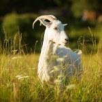 witte gehoornde geit op een groene weide met beweiding — Stockfoto #49511245