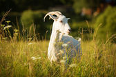 White horned goat grazed on a green meadow — Stock Photo