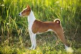 Hunting dog breed Basenji — Stock Photo