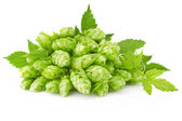 Hop with green leaf and twig — Stock Photo