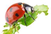 Ladybird on green leaf (macro) — Stock Photo
