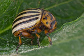Colorado beetle (Leptinotarsa decemlineata) — Stockfoto