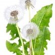 Blown dandelion with green leaves — Stock Photo