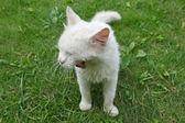 Bílá kočka zívat — Stock fotografie