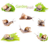 Set garden snail (Helix aspersa) — Stock Photo