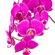 Stock Photo: Twig of orchid