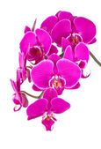 Twig of orchid — Stock Photo
