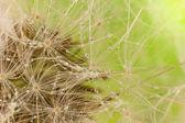 Dandelion (macro) with drop dew — Stock Photo