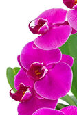 Orchid with green leaf — Stock Photo