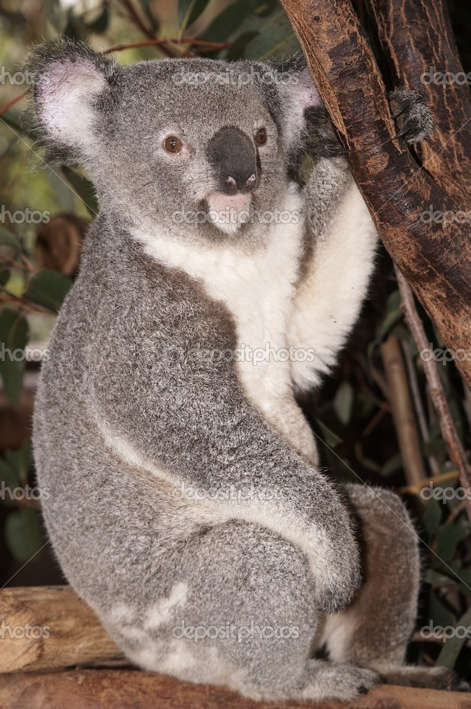 Koala bear sitting on a branch — Stock Photo #12025732