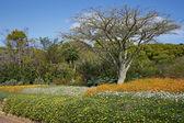 Kirstenbosch — Stock Photo
