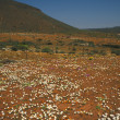 Carpet of Desert Flowers — Stock Photo #17883223