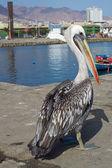 Pelican on the Dockside — Stockfoto