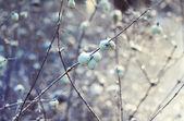 White berries in winter — Stock Photo