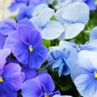 Blue violets — Stock Photo #23151330