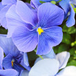 Blue violets — Stock Photo #23151360