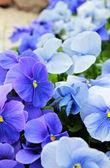 Blue violets — Stock Photo