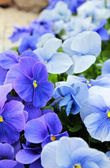 Blue violets — Stock Photo