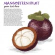 mangosteen fruit — Stock Vector