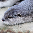 Cutest otter — Stock Photo