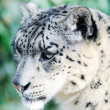 Snow Leopard Stalking — Stock Photo #20992603