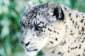 Snow Leopard Stalking — Stock Photo