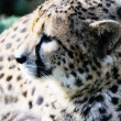 Cheetah profile — Stock Photo #21126445