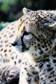 Cheetah — Photo
