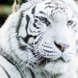 Stock Photo: White tiger face