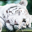 White tiger resting — Stock Photo #21234893