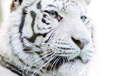 White tiger closeup — Stock Photo