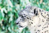 Snow Leopard Face — Stock Photo