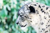 Snow leopard profil — Stock fotografie