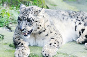 Snow leopard on a rock — Stock Photo